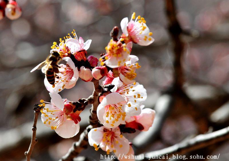 采花大盗--蜜蜂-我的视觉生活-搜狐博客