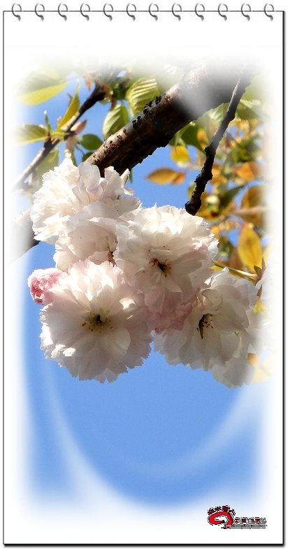 我已经见到桂树在秋,冬,春都会开花了,最后的悬念,就是夏天这桂树会不