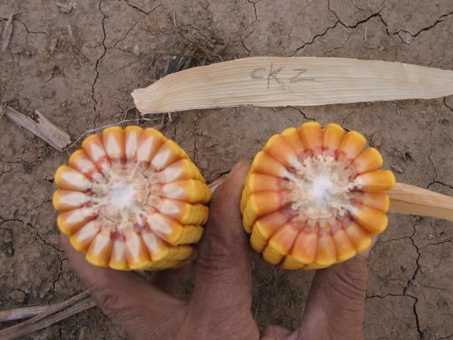 玉米籽粒结构观察