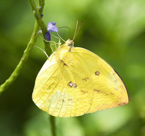 是用黄色的花粉点缀的,茶花刚开,就招引来许多蜜蜂和蝴蝶.