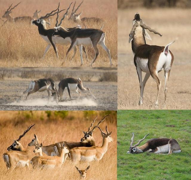 目力锐利的羚羊-动物的心我懂