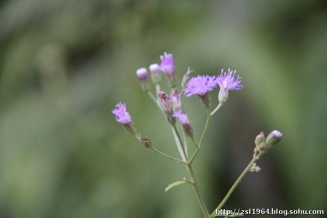 花草树木302-菊科-斑鸠菊属-夜香牛