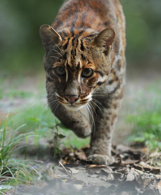 贵州野生猫科动物