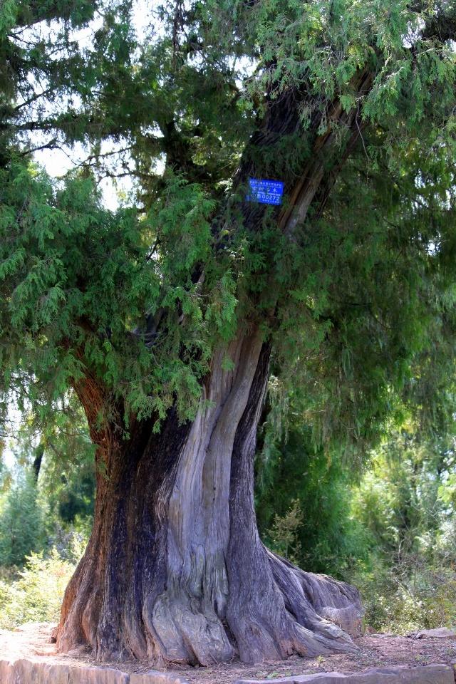道边的古柏树干苍劲,枝繁叶茂