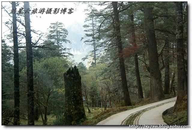 道旁茂密的杉树林,古木参天,萋草丰美,野花缤纷,百龄以上的大树比比皆