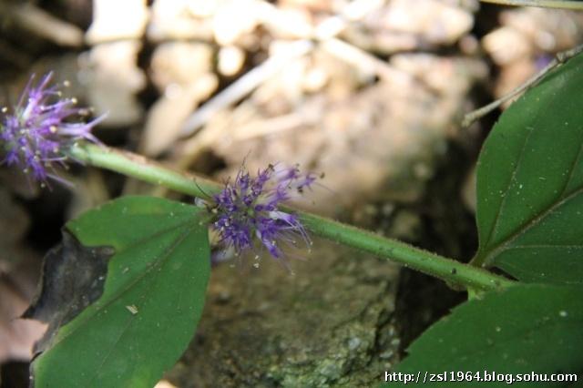 花草树木274-玄参科-腹水草属-毛叶腹水草