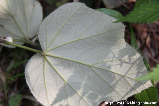 花草树木405-蔷薇科-悬钩子属-太平莓-柳绿花红-搜狐