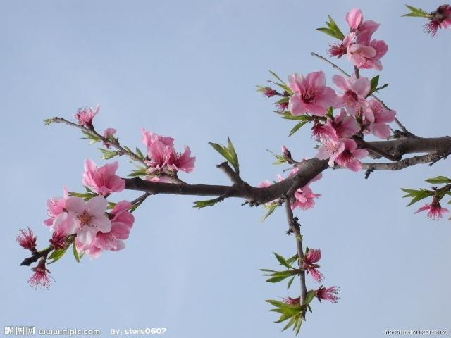 春天来了,桃花开了