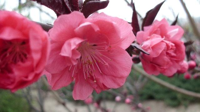 木瓜海棠的花可为糖制酱的佐料